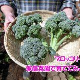 家庭菜園でもOK!ブロッコリーを家庭菜園で育ててみよう