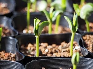 家庭菜園初心者でもできる枝豆の育て方