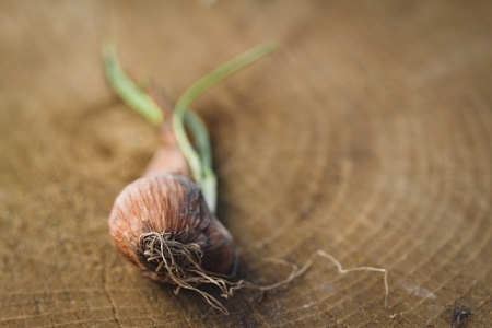 家庭菜園で玉ねぎを栽培する方法