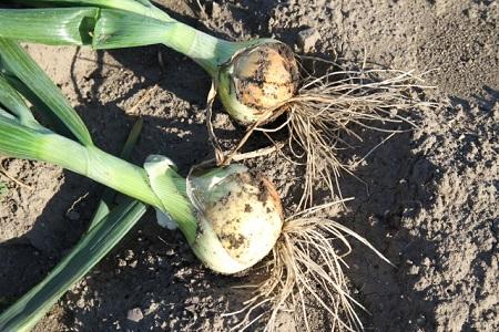 玉ねぎ栽培の基礎知識