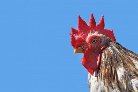 鶏除草は環境に優しい!