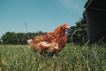 鶏除草の方法2選