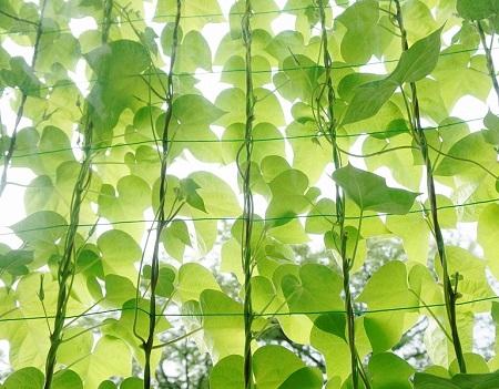 日よけになる!家庭菜園の野菜で作る「グリーンカーテン」とは?