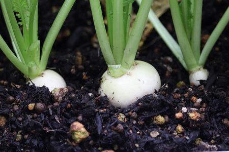 冬から育てるおすすめの野菜5つ