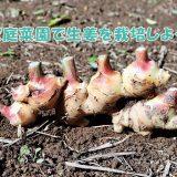 身体にも良い!生姜は家庭菜園で作れる?