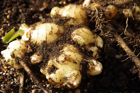 生姜を家庭菜園で栽培する方法