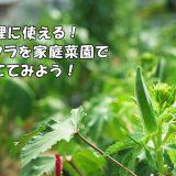 料理に使える!オクラを家庭菜園で育ててみよう!