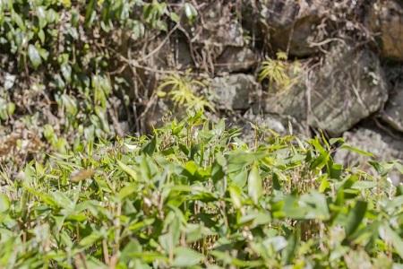 石垣と笹の葉